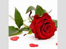 FileSingle red rosejpg Wikipedia