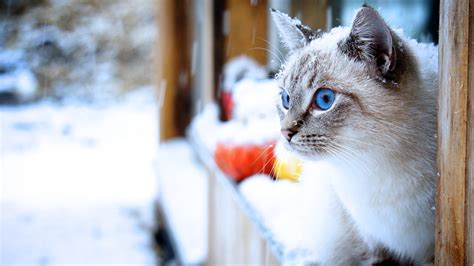 cat snow animals blue eyes wallpapers hd desktop