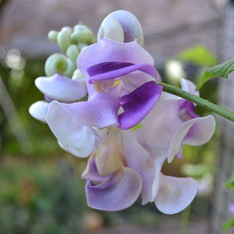 snail flower vigna caracalla