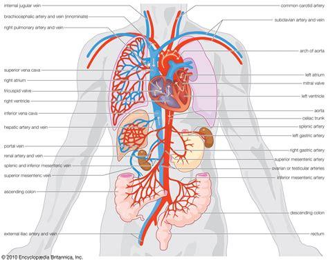 Diagram Of The Human Circulatory System