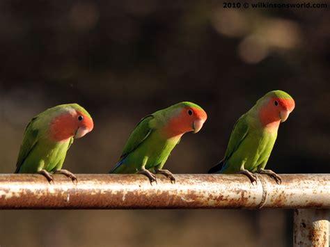 Agapornis Roseicollis- Peach-faced Lovebird And Yellow Mutant.jpg