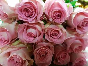 Light Pink Roses - 100 Stems - 40 cm - Toronto Bulk Flowers