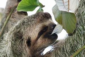 Sloth Eating Leaves | www.pixshark.com - Images Galleries ...