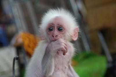 amazing stunning picture gallery chinese baby monkey