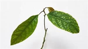 Avocado Baum Pflege : avocadokern einpflanzen avocado baum selber ziehen ~ Orissabook.com Haus und Dekorationen