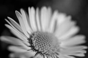 Flower Macro Sunflower Black White Free Stock Photo ...
