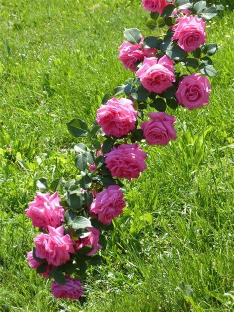 Kostenlose Bild Gras, Natur, Garten, Rose, Frühling
