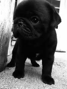 Cute Baby Black Pugs
