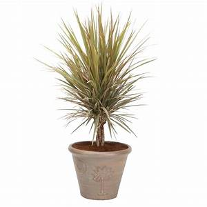 Shop 12-in Madagascar Dragon Tree in Planter (MARMSC12) at