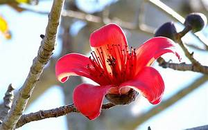Bombax Ceiba  Red Silk Cotton Tree    Wallpapers13 Com
