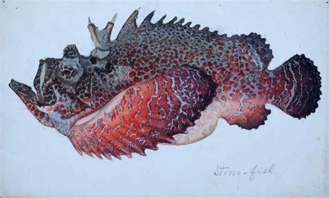 adaptations stonefish synanceia verrucosa