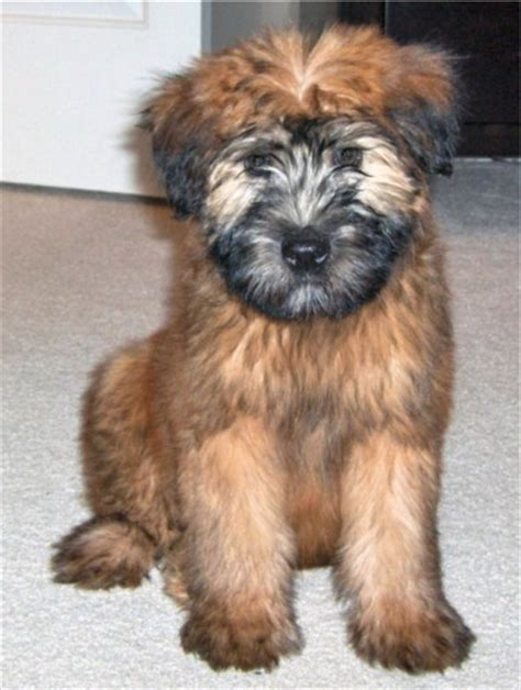 Do Wheaten Terrier Puppies Shed by What Type Of Do You And Post A Pic Page 3