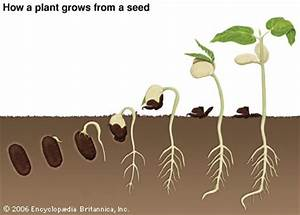 Seed How A Plant Grows From A Seed Kids Britannica