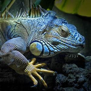 iguana azul | Reptiles and Animal
