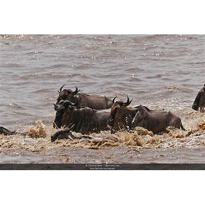 Photo/Picture Great Migration Blue Wildebeest