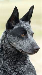 1000 ideas about australian cattle on cattle dogs blue heelers and cattle