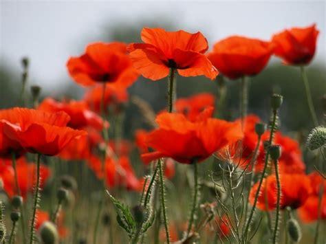 flowers poppies poppy flowers photo 22283920 fanpop