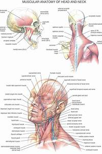 Diagram  Human Head And Neck Muscle Diagram Labeled