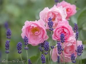 Rosen Und Lavendel : mein dreamteam im garten lavendel vor sommerwind ~ Yasmunasinghe.com Haus und Dekorationen