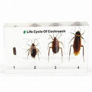 life cycle of a cockroach k--k.club 2017