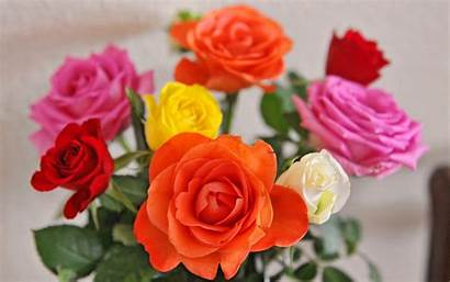 Roses Rose Multicolor Flowers Meaning Every Multi