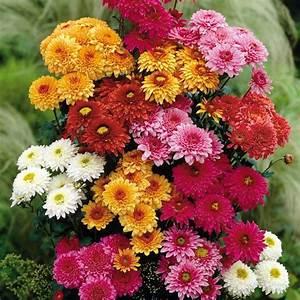 Blumen Im November : november geburtstag blumen chrysanthemum bilder november ~ Lizthompson.info Haus und Dekorationen