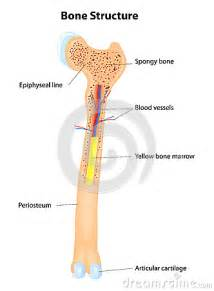 Diagram of Bone Structure
