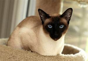 Seal Point Siamese - Just How Many Different Siamese Point ...