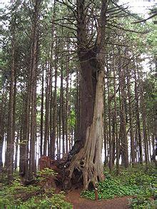 nurse tree wikipedia