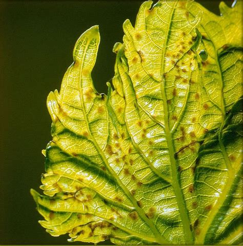 Anthracnose How To Identify, Control, And Prevent