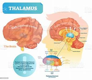 Thalamus Vector Illustration Labeled Medical Diagram With