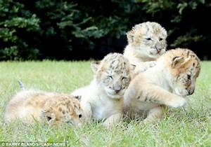 First White Ligers Are Born - Rarest Cat On Earth