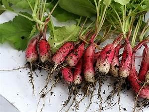 Culture Des Radis : quand planter radis 18 jours ~ Melissatoandfro.com Idées de Décoration