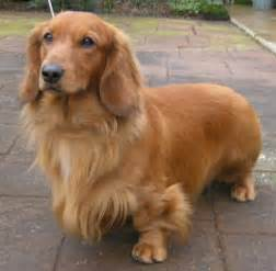 Long Haired Weiner Dog