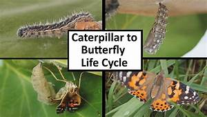 Caterpillar To Butterfly Life Cycle