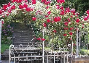 Rosen Für Rosenbogen : kletterrosen welche arten wie verwenden rambler und climber unterschied ~ Orissabook.com Haus und Dekorationen