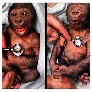 Newborn gorilla reacting to a cold stethoscope #gorilla # ...