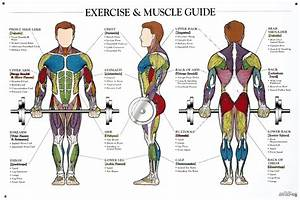 Exercise And Muscle Guide