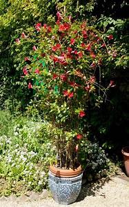 Comment Tailler Les Orchidées Pour Qu Elles Refleurissent : diplad nia planter et tailler ooreka ~ Melissatoandfro.com Idées de Décoration