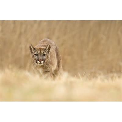Puma Concolor by Marketa Myskova / 500px
