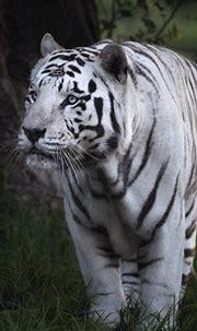 White Tiger HD Wallpaper | Background Image | 2000x1429 ...