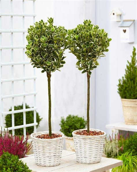 Pair Of Euonymus Kathy  Silver Variegated Evergreen