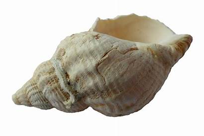 Seashell Shells Sea Shell Ocean Clam Beach