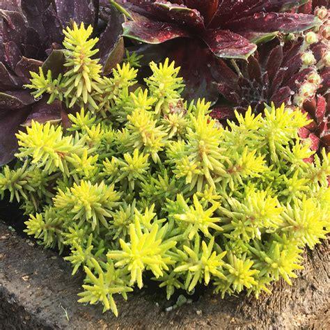 SUNSPARKLER® 'Angelinas Teacup' Sedum - Garden Crossings