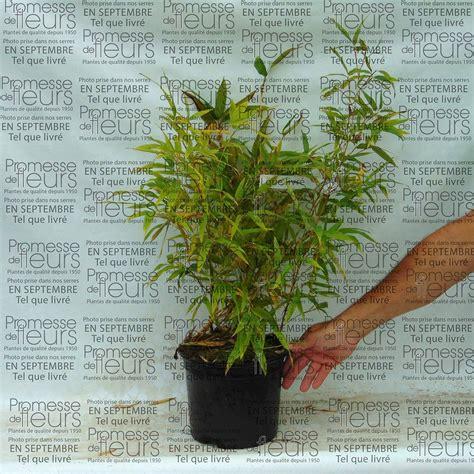 bambou geant en pot phyllostachys nigra henonis bambou g 233 ant