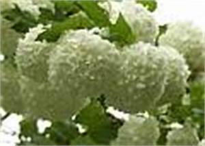 Schneeball Strauch Arten : viburnum der schneeball ~ Frokenaadalensverden.com Haus und Dekorationen