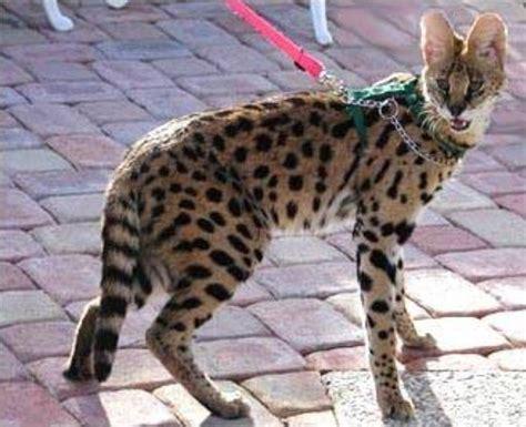 cat african serval cats savannah domestic wild breeds dangerous jones jon missing mma breed kittens savannahs police bones which surrey