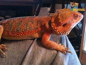 Citrus Leatherback & Red Baby Bearded Dragons   Cannock ...