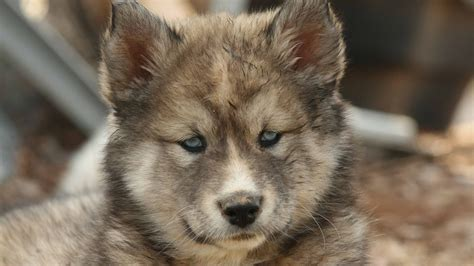 german shepherd dog puppy hd wallpaper hd wallpapers
