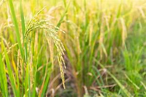 Close Up Of Paddy Rice Plant